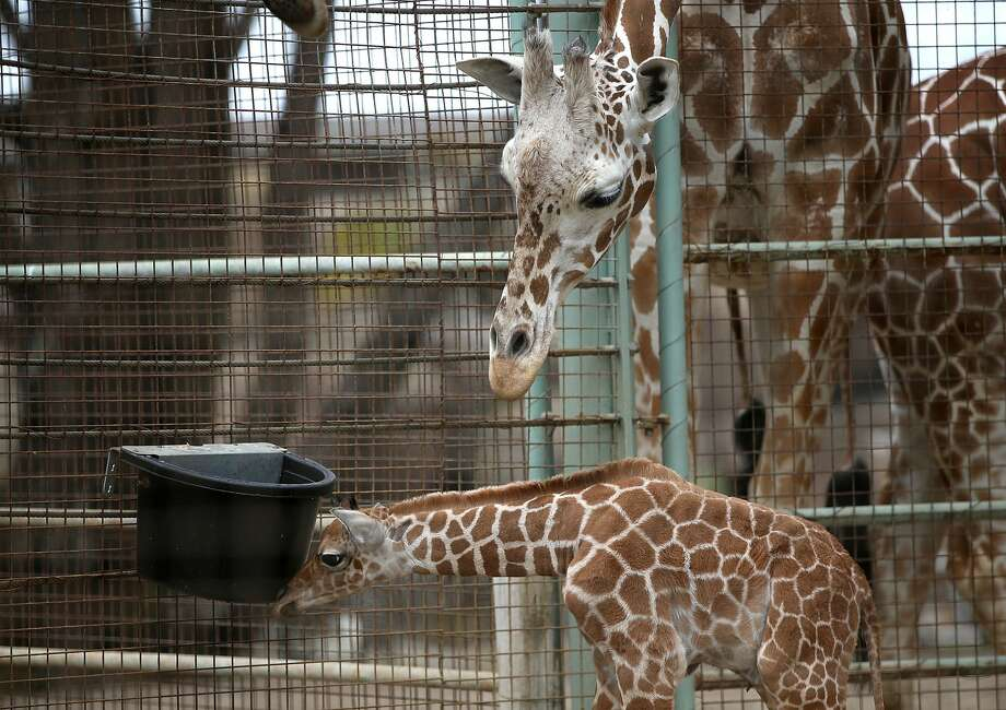 A newborn giraffe calf stands in its enclosure at the San Francisco Zoo on August 29, 2014 in San Francisco, California. Photo: Justin Sullivan/Getty Images / 2014 Getty Images