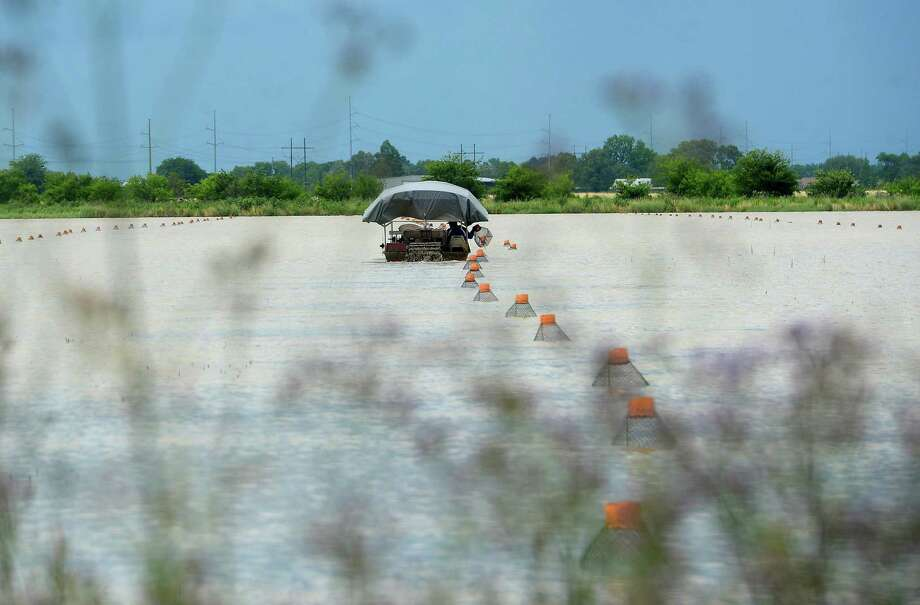 A boat makes its way up and down long rows stretched across a body of water along Sour Lake Road, checking crawfish traps Wednesday.   Photo taken Wednesday, May 13, 2020 Kim Brent/The Enterprise Photo: Kim Brent / The Enterprise / BEN