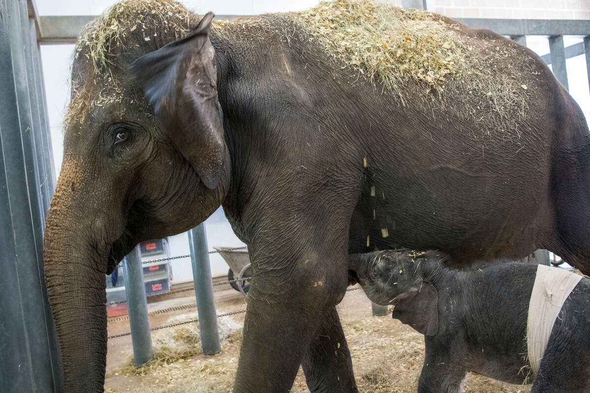 Does The Houston Zoo Decorate For Halloween 2020 Houston Zoo welcomes new baby elephant named Nelson