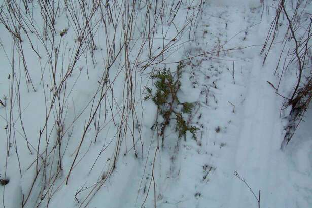 As shown by this downed tree and the accompanying tracks in the snow, careless snowmobilers can readily damage and even destroy young trees. (Tom Lounsbury/Hearst Michigan)