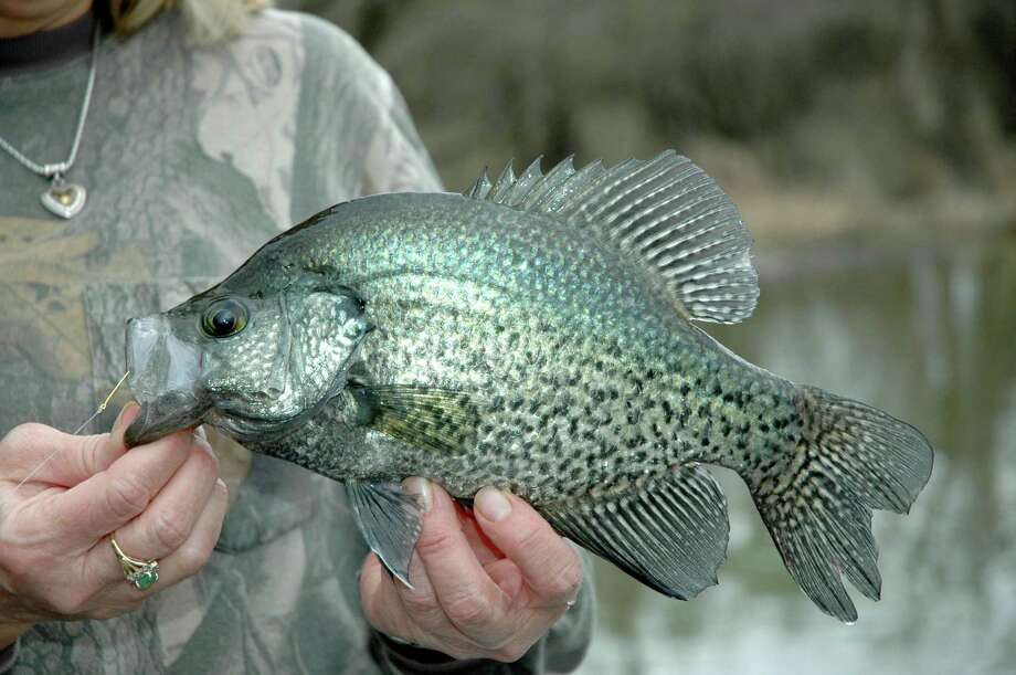 Onset of the annual spawning season has crappie moving into the shallows across Southeast Texas, where anglers dabbling live minnows around brush and other cover can enjoy fine action for these tasty, cooperative panfish. Photo: Shannon Tompkins / Shannon Tompkins/Houston Chronicle / Houston Chronicle
