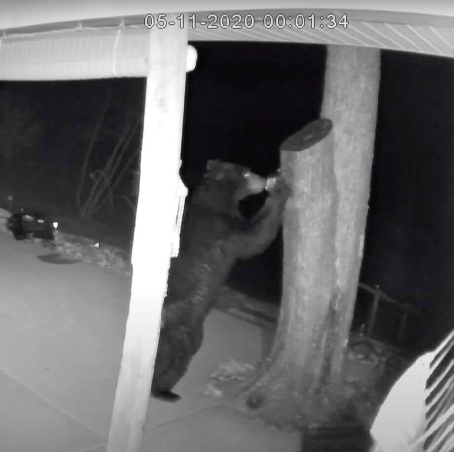Gary Scramling's security cameras caught this black bear on tape as it roamed through his porch this week. During its visit, the bear destroyed some of Scramling's feeders before leaving. Photo: Photo Courtesy Of Gary Scramling