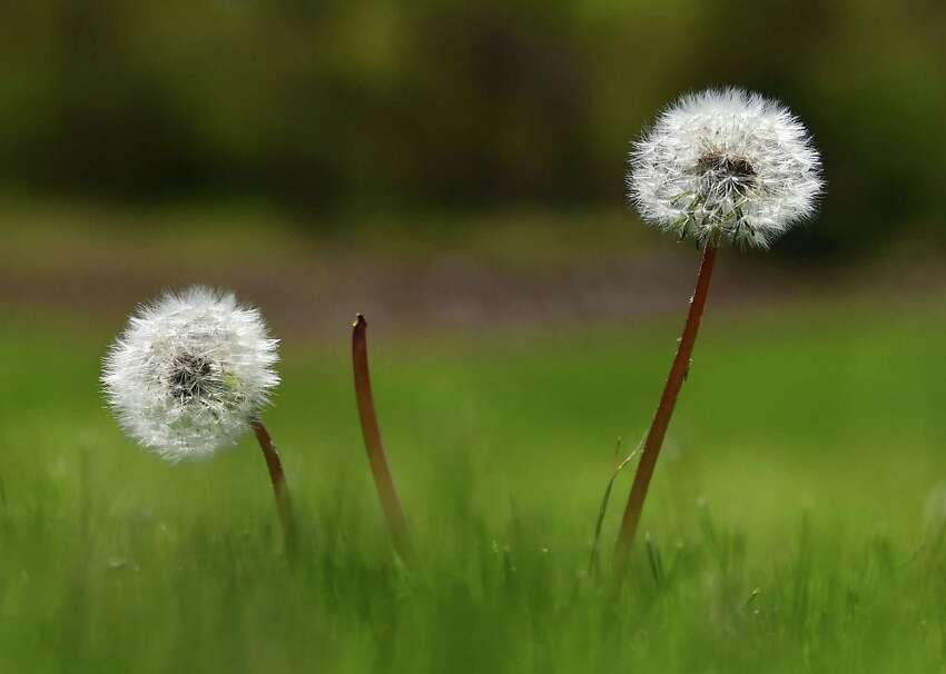 Dandelion puffs are seen on a lawn on Thursday, May 14, 2020 in Bethlehem, N.Y. (Lori Van Buren/Times Union)