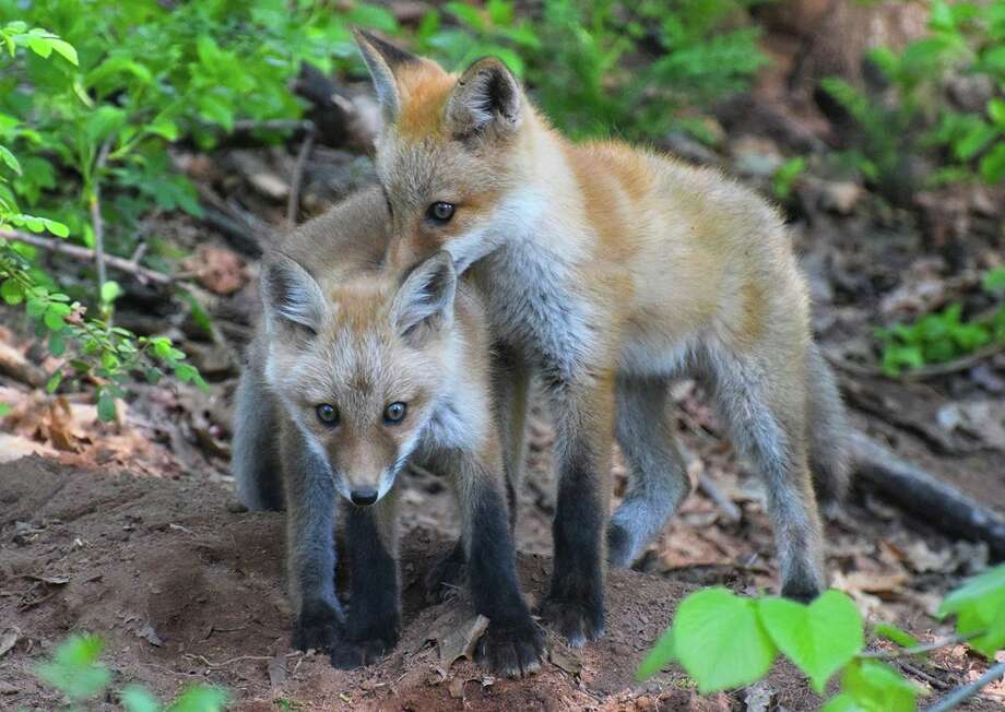 A pair of fox kits might look helpless and needy, but the DEEP advises people to leave them alone. Photo: DEEP / Contributed Photo