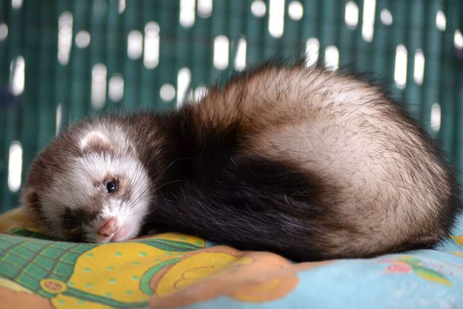 Keeping a ferret as a pet is enticing to many but they come with some special needs. Photo: Texas A&M University