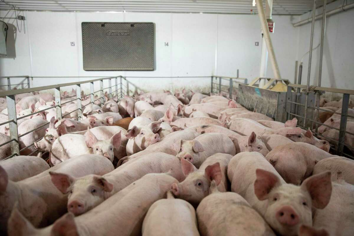 Based on a recent study, scientists have concluded that hooking up human lungs to live pigs gives them a longer window to transplant successfully.