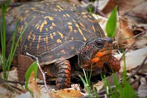 This colorful box turtle, which can live for 138 years and perhaps much longer, is part of the Great Hollow turtle-tracking program designed to help researchers learn how to protect them. Anyone who sees these creatures can help by emailing JFoley@GreatHollow.org at the Great Hollow Nature Preserve & Research Center. Copy your message to ShermanConservationCommission@gmail.com to help the commission find best locations for turtle crossing signs.