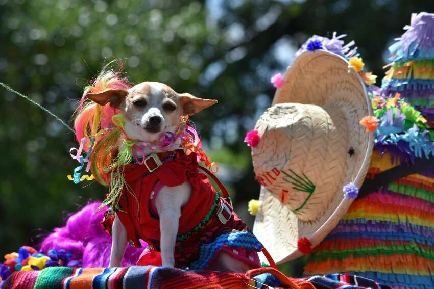 Several local businesses and organizations took part in the parade as well. 4 Paws Animal Hospital decorated their truck and Chihuahuas in bright Fiesta gear.
