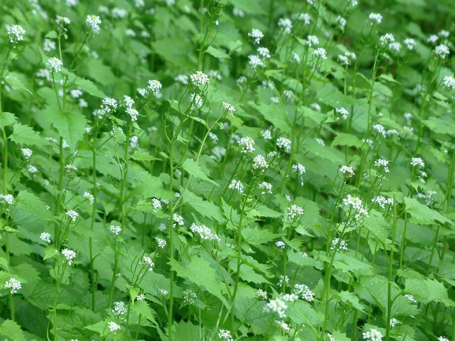 Garlic mustard can now be found in backyards, forests, along roadsides and many other wild spaces in the region. Garlic mustard dumpsters are located in Benzie, Leelanau, Grand Traverse and Manistee counties. (Courtesy Photo)