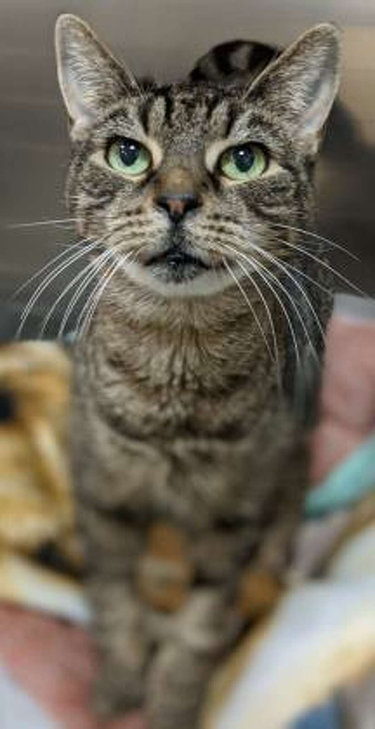 This is Felicia, a 10-year-old female kitty looking for her new forever home. Felicia has not had much experience with children but since she is a fairly easy going cat, she is willing to consider sharing her home with kids who can be gentle and respectful of pets. Felicia would tolerate living with a dog but she has not had much experience with other cats. Her interactions at CHS show that she may be willing to live with another cat. Like a lot of felines, this one is quiet and reserved and likely would prefer a peaceful home. Felicia does have some special needs but still has lots of life to live and love to give. Please ask the adoption counselor to explain when contacted about a visit with Felicia in Newington. Remember, the Connecticut Humane Society has no time limits for adoption. To learn more about operations during COVID-19, go to https://cthumane.org/adopt/adoption-process/. Applications for adoption can be obtained at https://cthumane.org/adopt/all-adoptable-pets/.