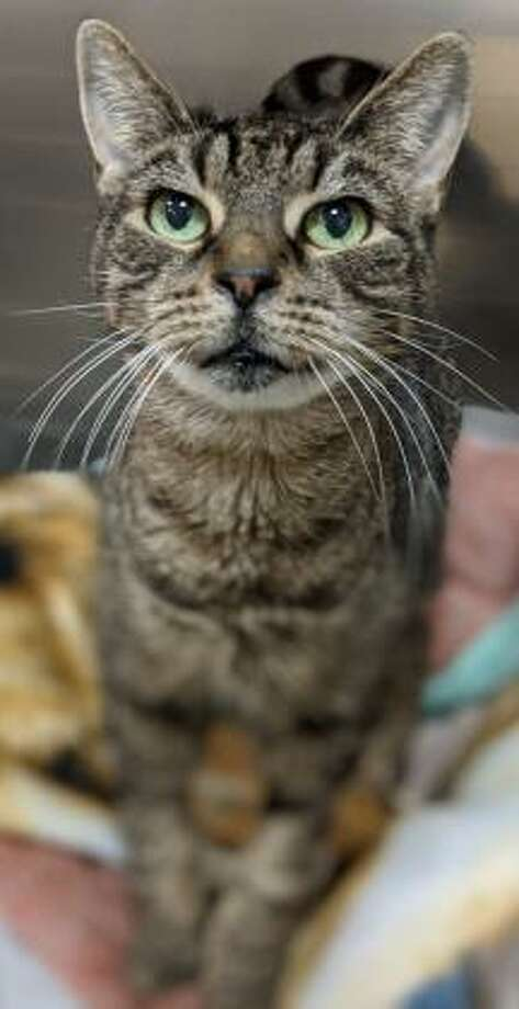 This is Felicia, a 10-year-old female kitty looking for her new forever home. Felicia has not had much experience with children but since she is a fairly easy going cat, she is willing to consider sharing her home with kids who can be gentle and respectful of pets. Felicia would tolerate living with a dog but she has not had much experience with other cats. Her interactions at CHS show that she may be willing to live with another cat. Like a lot of felines, this one is quiet and reserved and likely would prefer a peaceful home. Felicia does have some special needs but still has lots of life to live and love to give. Please ask the adoption counselor to explain when contacted about a visit with Felicia in Newington. Remember, the Connecticut Humane Society has no time limits for adoption. To learn more about operations during COVID-19, go to https://cthumane.org/adopt/adoption-process/. Applications for adoption can be obtained at https://cthumane.org/adopt/all-adoptable-pets/. Photo: Contributed Photo