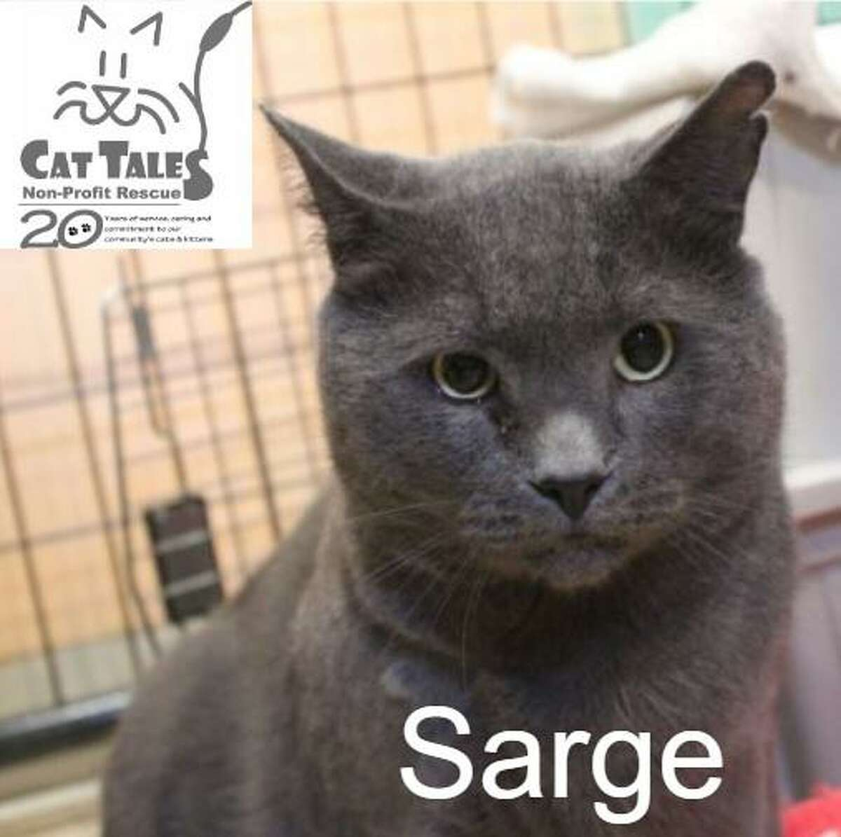 """Sarge is a gray male, about 3 years old. He says, """"I was found as a stray by Animal Control with a bite wound. I am very, very sweet and affectionate. I love to be held and to be petted but I can become overstimulated and may nip if you keep petting me when I don't want the attention. Please take my cues so you know when I've had enough. I am an independent boy who does need my space at times. I am FIV+. Humans cannot catch this and it is very difficult for other cats to get (blood needs to be exchanged). I am healthy and can live just as long as any cat without FIV. I do have a food allergy so please only feed me what Cat Tales says (no fish). Please adopt me."""" Visit www.CatTalesCT.org/cats/Sarge, call 860-344-9043, or email info@CatTalesCT.org. Watch our TV commercial: https://youtu.be/Y1MECIS4mIc"""