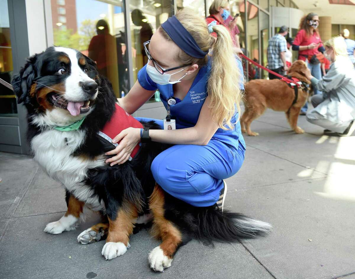 R.N. Jillian Balkenhol pets therapy dog, Oscar, a Bernese Mountain Dog, during a therapy dog parade in front of Yale New Haven Hospital for patients and employees on May 15, 2020.