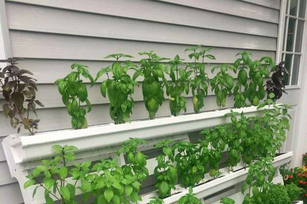 Donna Frawley's basil wall hosts 42 plants. (Photo by Donna Frawley)