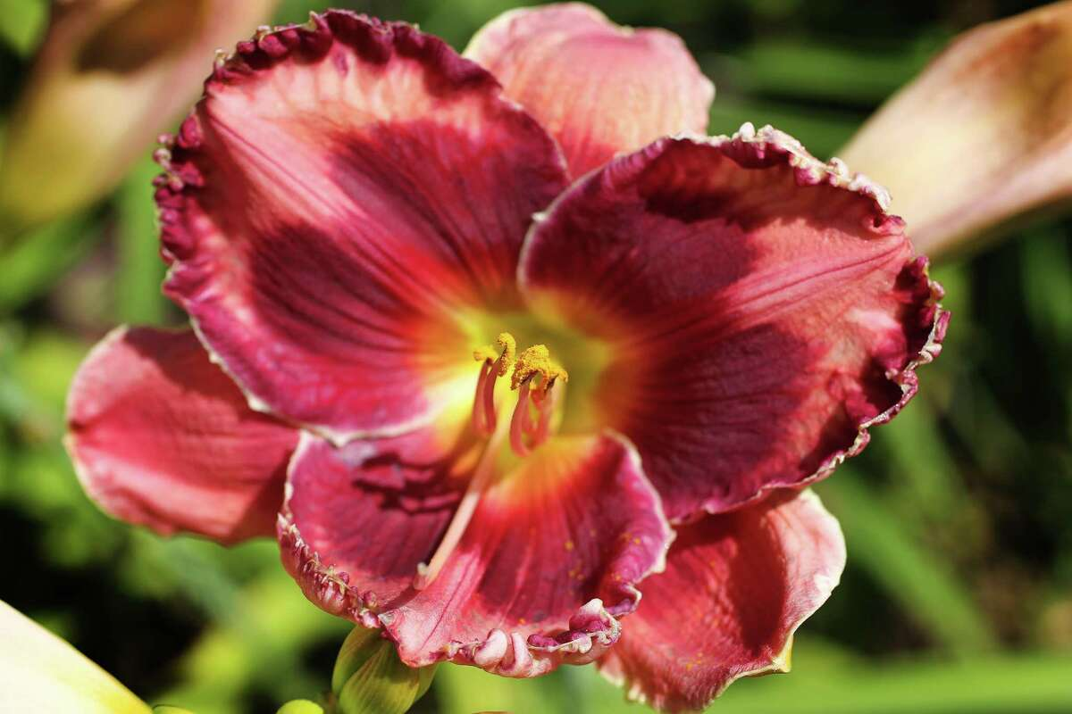 """A close up shot of """"Walter Kennedy 2009"""" blooming day lilies on Leon and Paula Payne's property, Friday, May 6, 2016, in Pearland. ( Steve Gonzales / Houston Chronicle )"""