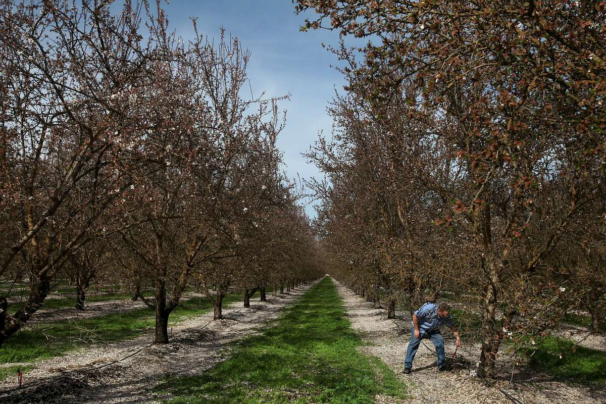 Craig Arnold replaces a micro sprinkler head after taking it out for a demonstration in a block of almonds trees he manages March 6, 2014 near Arnold Farms in Atwater, Calif. Arnold is a partner in the family farm with his Uncle Glenn Arnold and father, Bill Arnold. Today the family farms about 800 acres of almonds and about 400 of peaches, sweet potatoes, squash and wheat. This year Arnold estimates that Merced Irrigation District may only allot 6 inches of water per acre for one crop as opposed to the normal 30-40 inches allotted in normal years. Because of this, Arnold is anticipating having to draw from the farm's wells, tapping into the ground water, to make up the difference. They're also planning on allowing most of the squash and sweet potatoes to fallow, so they can use the water for the almonds and peaches. Almond trees can survive without water, but it can take years for them to recover back to full production.
