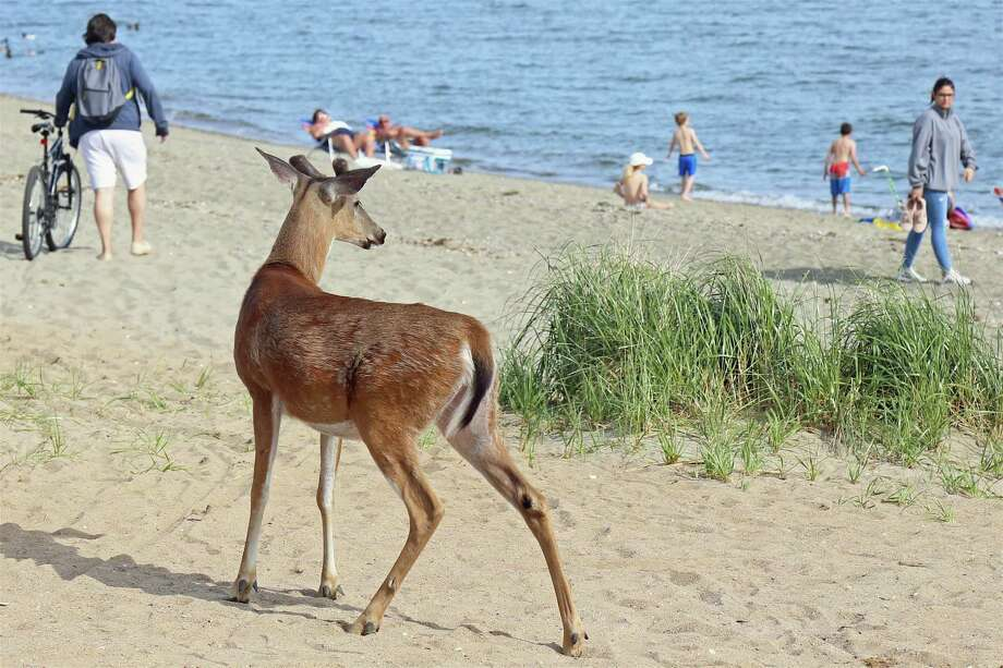 This young deer got nervous and galloped off east on South Pine Creek Beach on Saturday, May 16, 2020, in Fairfield, Conn. Before long he was running along the beach toward Pine Creek Point, turning heads as he galloped across the steaming sands.