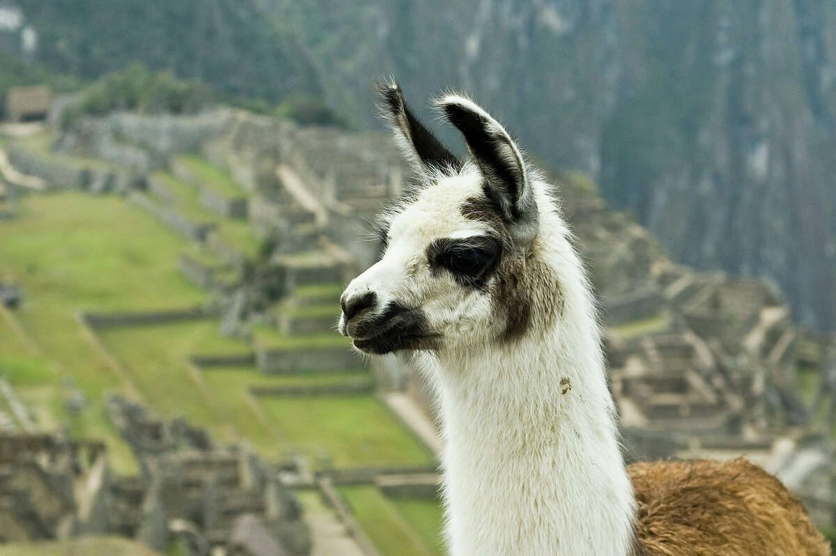 An antiviral molecule synthesized by UCSF researchers was inspired by antibodies naturally produced by camelids such as llamas and alpacas. The scientists believe it may be able to neutralize the coronavirus' ability to replicate in human cells.