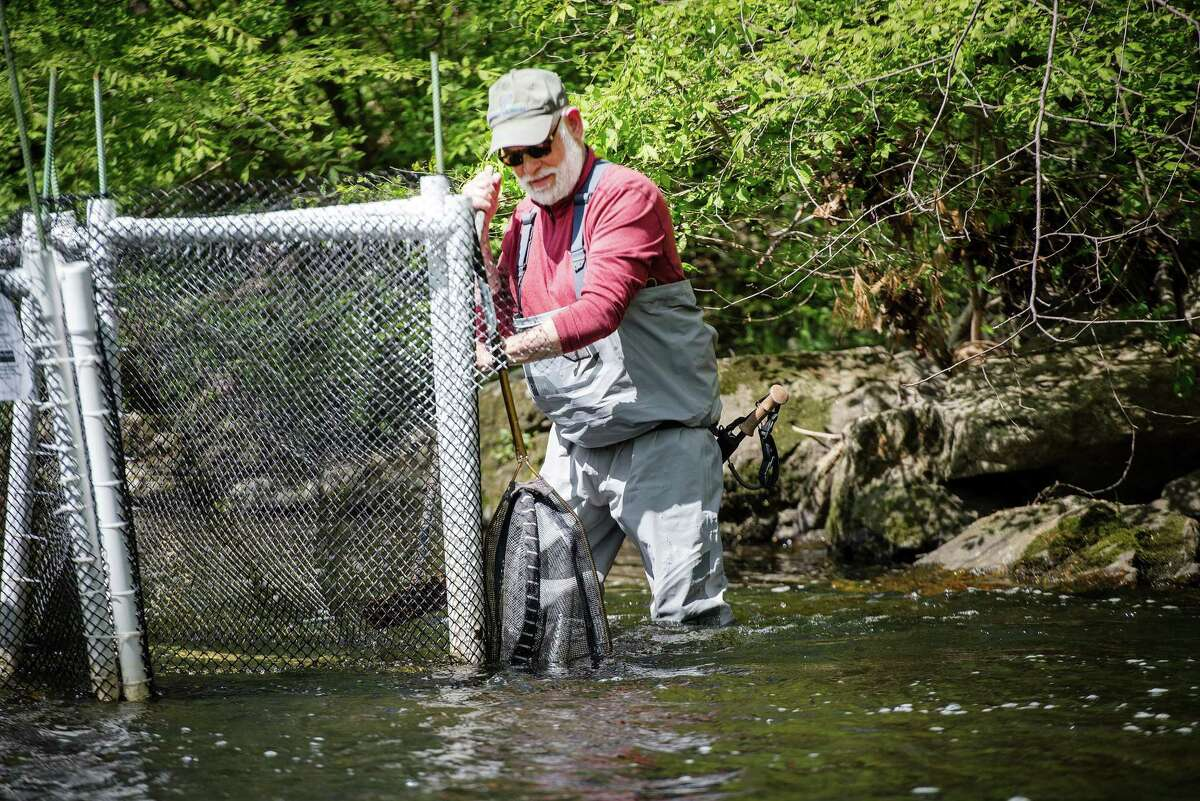 Ken Werner of Norwalk checks a trap in the Norwalk River on May 14, in hopes of finding an alewife, a fish that lives in the ocean but returns to fresh water to spawn.