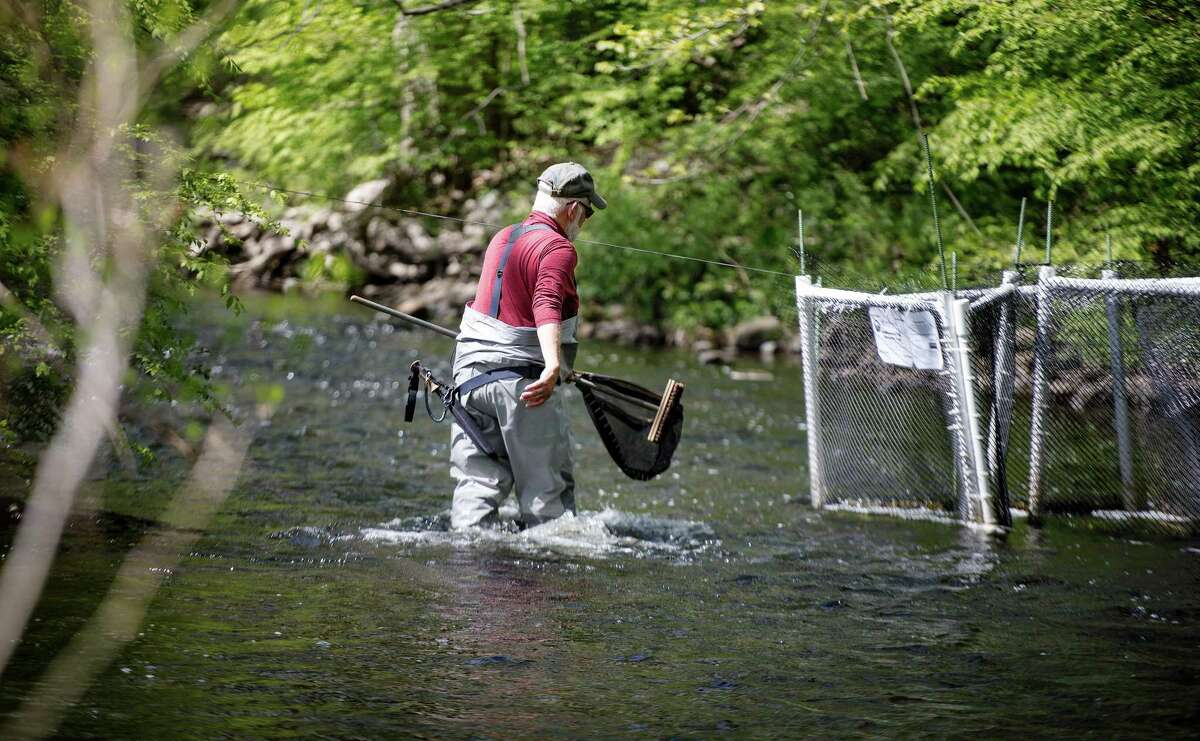 Ken Werner of Norwalk approaches a trap in the Norwalk River on May 14, in hopes of finding an alewife, a fish that lives in the ocean but returns to fresh water to spawn.