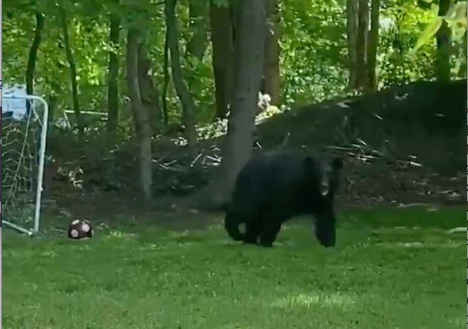 A video was captured by Darien resident Kerikea Morgan of a young black bear walking through her back yard on Old Kings Highway South and obtained by The Darien Times. Photo: Kerikea Morgan