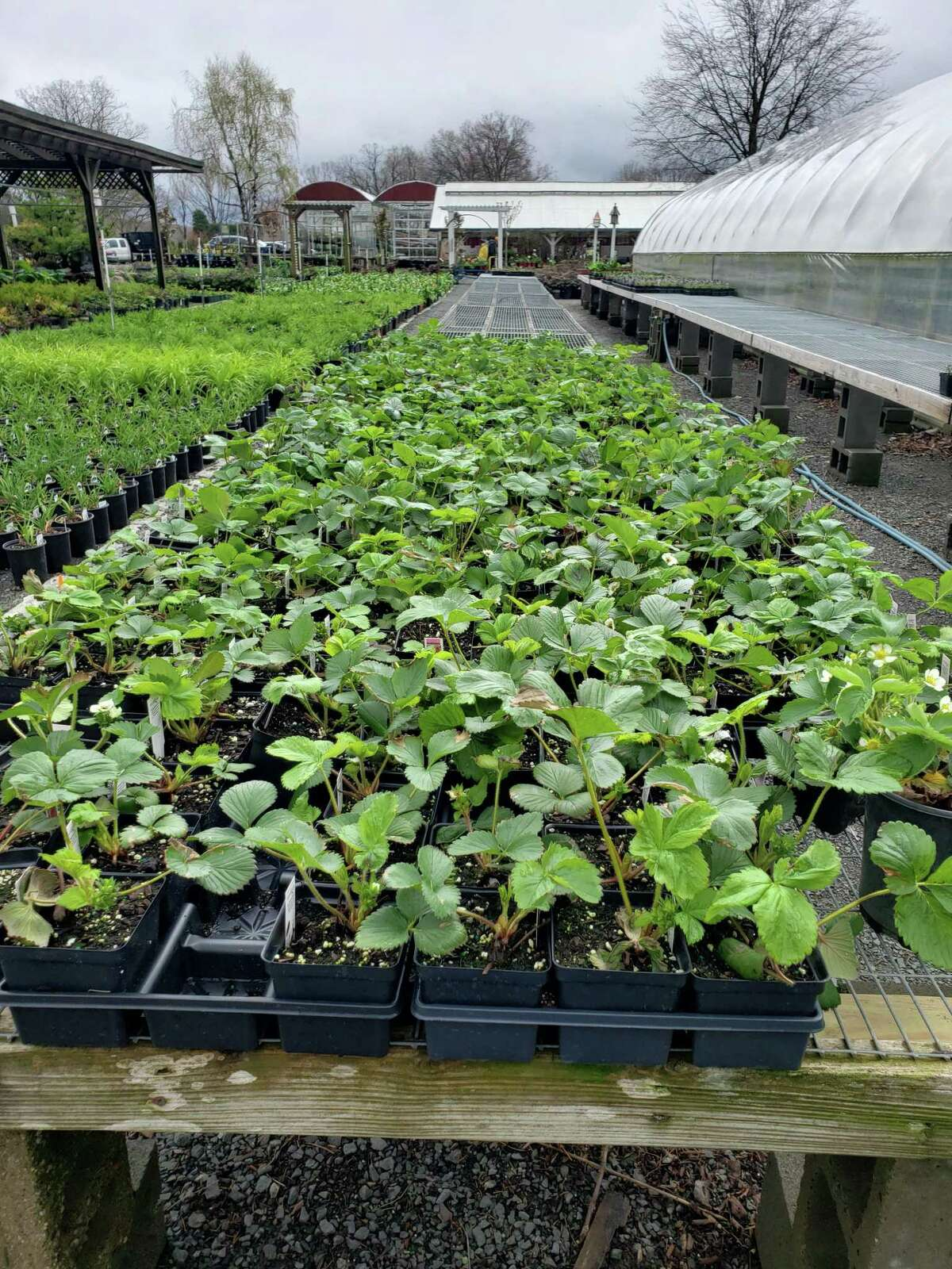 When starting a vegetable garden, begin with pre-grown plants, like these from Hollandia Nursery in Bethel, and choose vegetables that are easy to grow, such as cucumbers, tomatoes, peppers, onions, and celery.