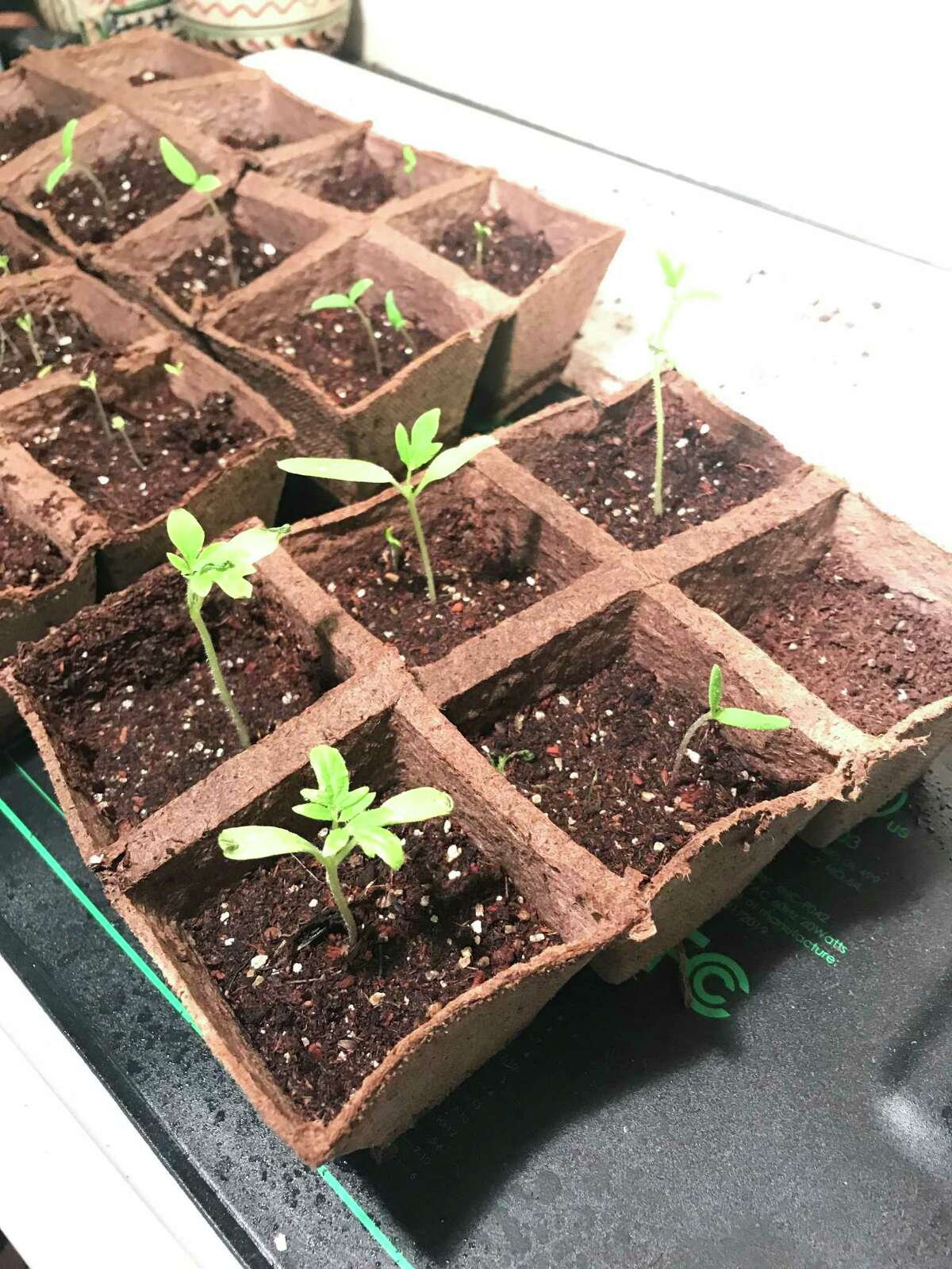 Writer and home gardener Andrea Valluzzo prepares tomato, lettuce, and pepper seedlings for the coming growing season.