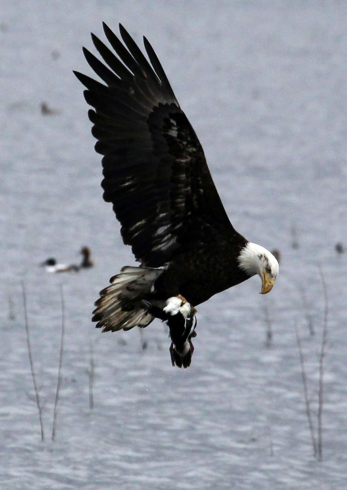 A Bald Eagle picks up a small duck Wednesday, April 18, 2012 in Tulelake, Calif. An estimated 10,000 to 20,000 migrating birds have died so far this year because of reduced water flow to the Lower Klamath National Wildlife Refuge in California and Oregon.