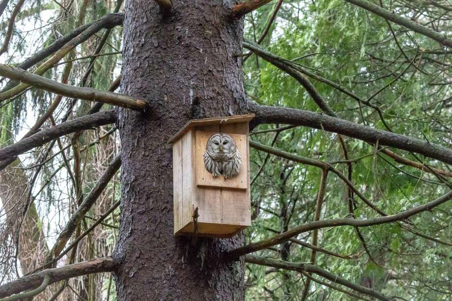 Barred Owl peeks out of the nest box. Photo: Mike Kralik / Contributed Photo / Contributed Photo