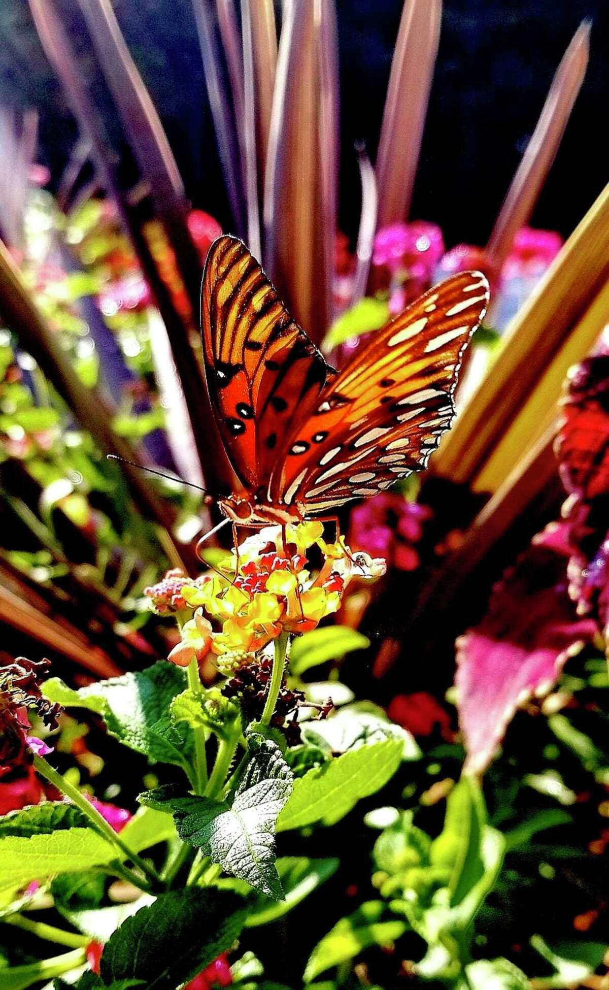 Red Sensation cordyline and lantana create an exotic habitat for this feasting Gulf fritillary butterfly.