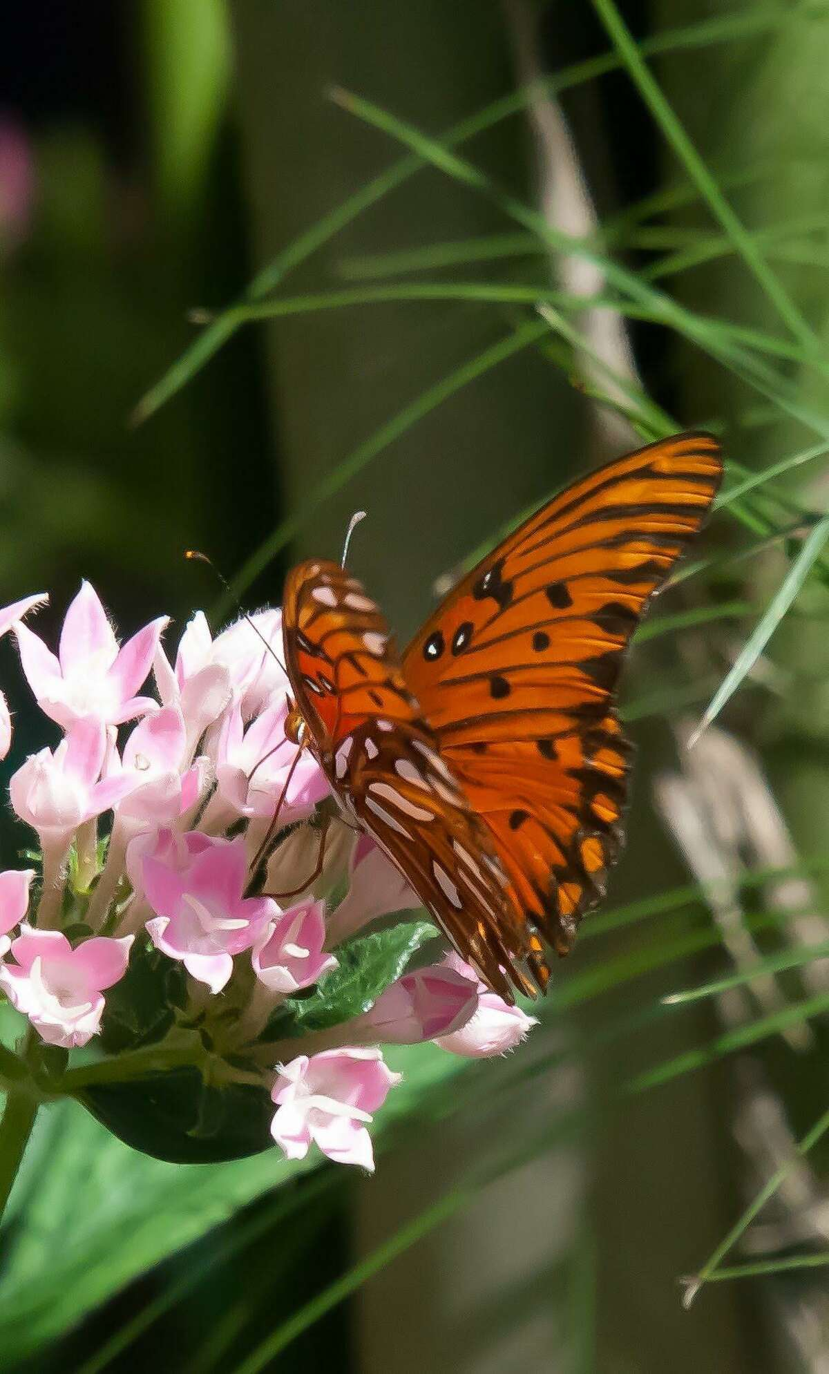 This Gulf fritillary butterfly finds the Sunstar Pink pentas to be just perfect.