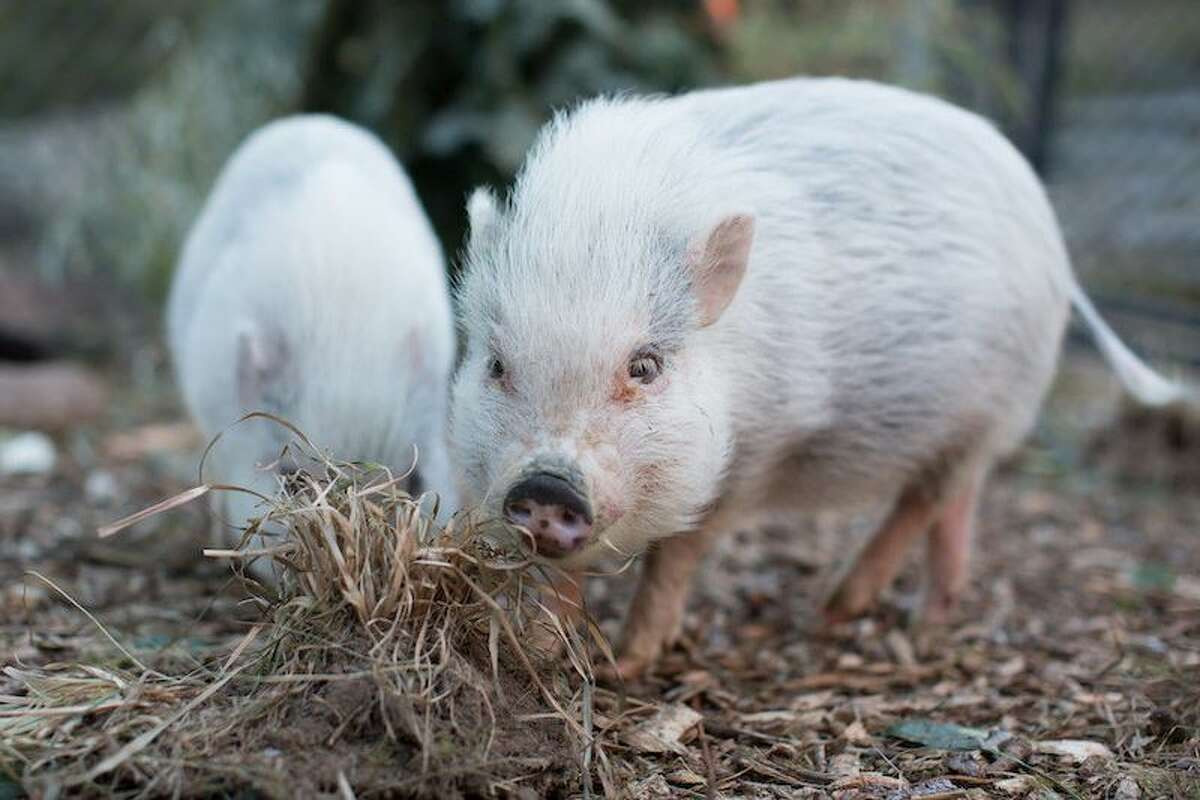 Pot-bellied pigs Annabelle and Bailey will adorably oink at you over web chat.