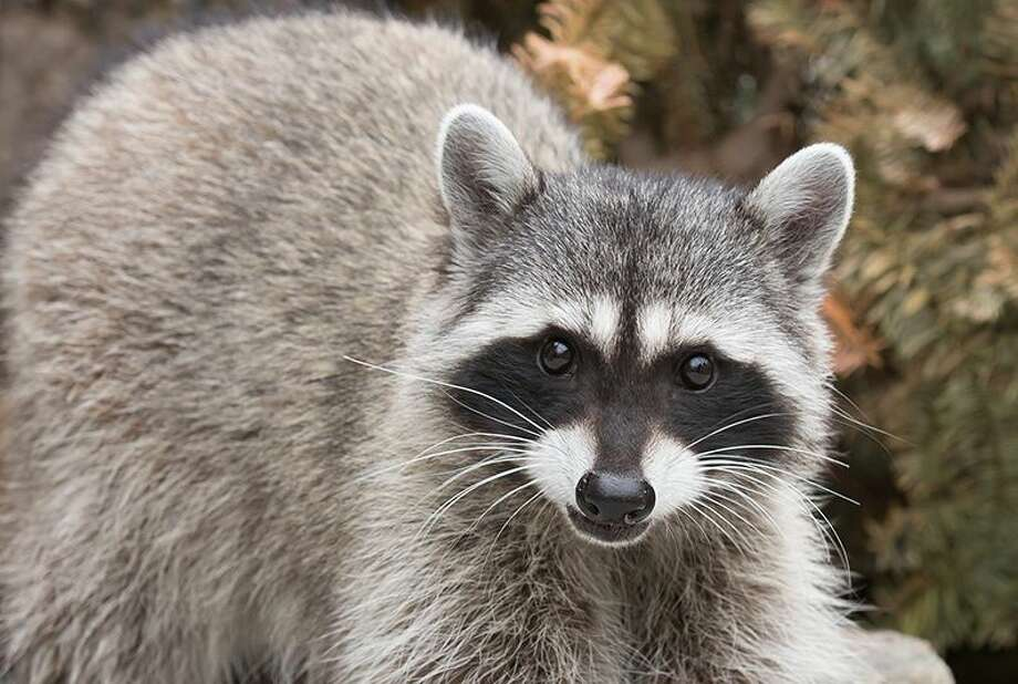 Lucy, a Woodland Park Zoo Animal Ambassador, is ready to crash your next Zoom meeting. Click through the gallery to see a few of the other animal ambassadors you can video chat with during the COVID-19 shutdown. Photo: Courtesy Of Woodland Park Zoo
