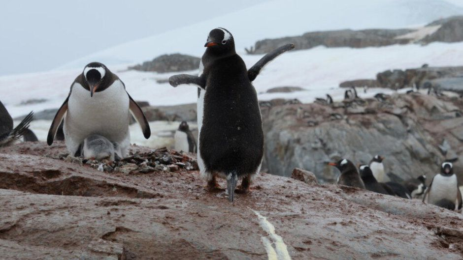 Scientists suffer headaches when penguin poop turns into laughing gas - SFGate