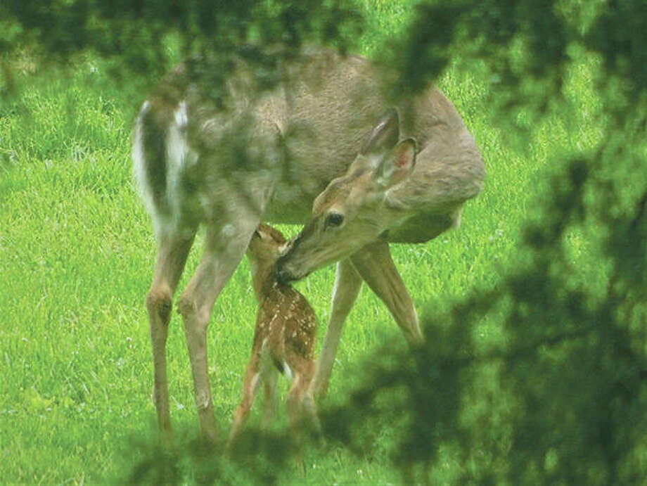 "As reader Dianne Dooley was watching a deer amid the branches of a cedar tree, she saw a fawn appear and start nursing as the doe cleaned the fawn's face. ""In these times right now, this just made my day,"" she said."
