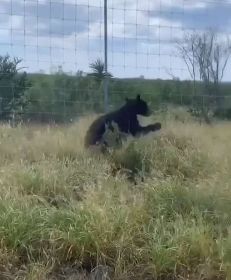 This black bear was recently spotted in Zapata County. The Texas Parks and Wildlife Department said the bear is likely from the mountains of Monterrey, Mexico. Photo: Courtesy