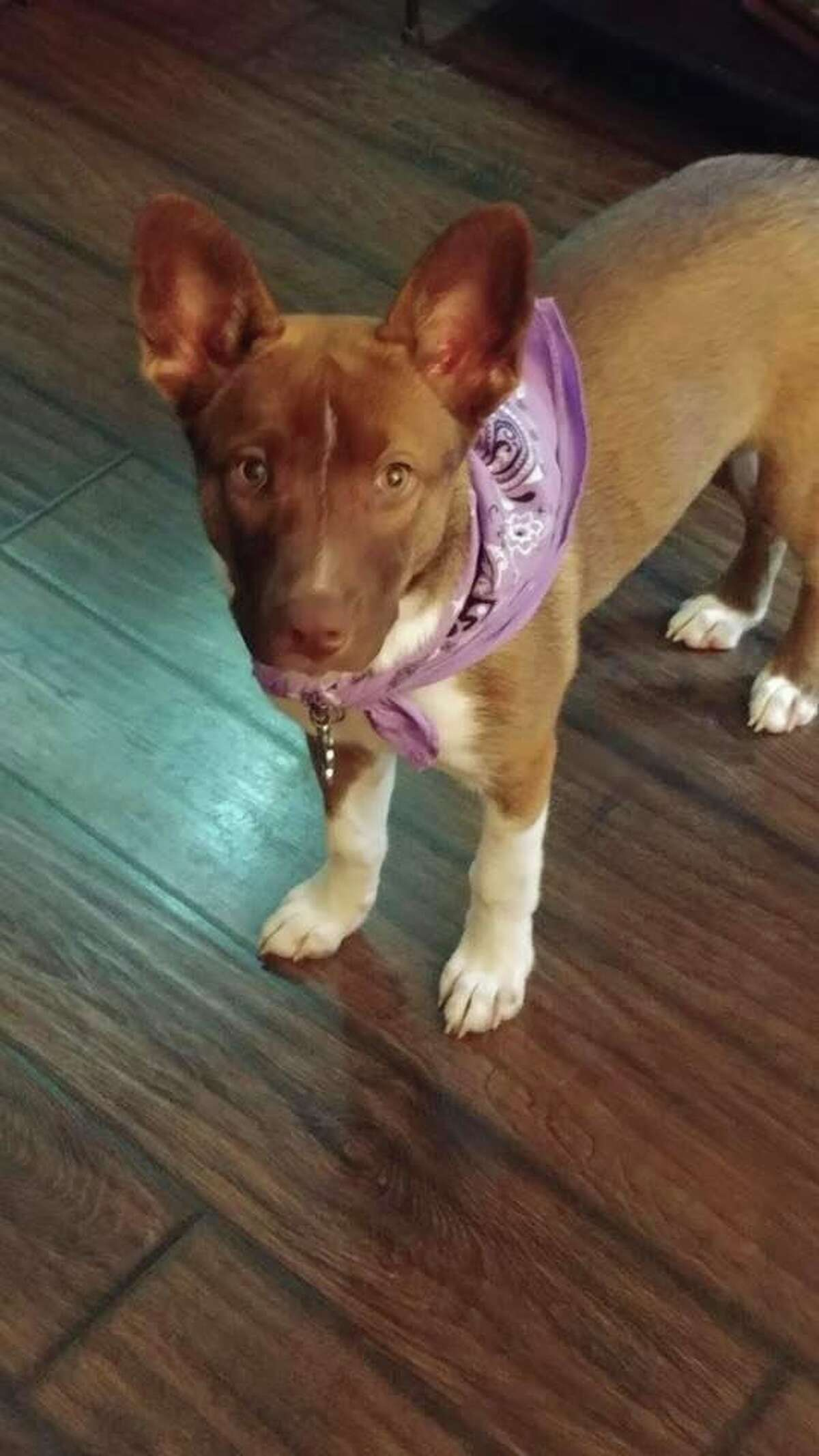 """""""Dakota is a Husky mix and we rescued her from CAPS last summer. She was 3 months old when we got her. We didn't know when we adopted her she had been exposed to Parvo. She became deathly ill but after two weeks and lots of money and tears, she pulled through."""""""