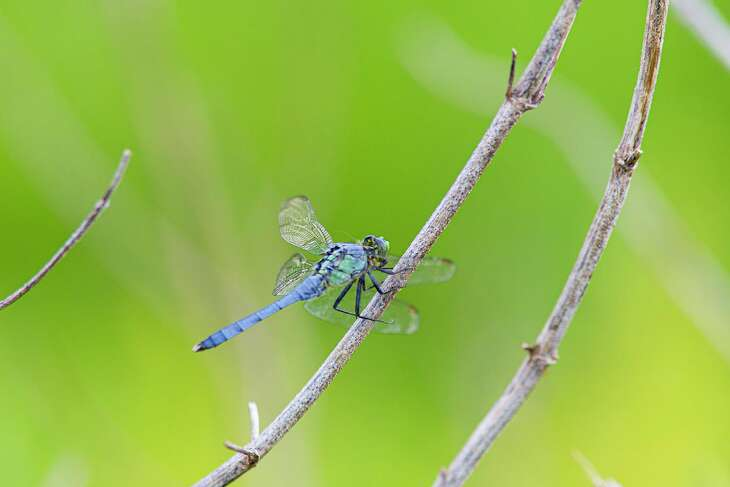 Dragonflies, like this eastern pondhawk, feed on lots of mosquitos.
