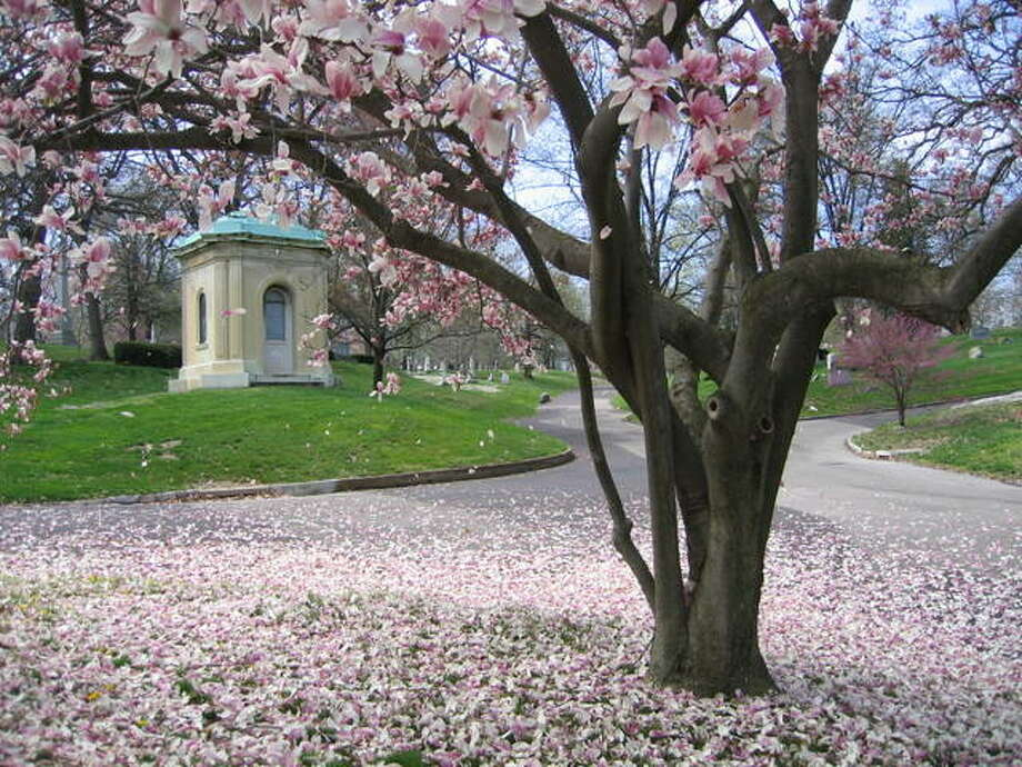 A saucer magnolia tree is one of the many species of flowering trees among Bellefontaine Cemetery's 314 acres of green space. This tree drops its petals near Brock Mausoleum, designed by St. Louis architect George I. Barnett. Photo: Jeanie Stephens |The Telegraph