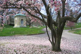 A saucer magnolia tree is one of the many species of flowering trees among Bellefontaine Cemetery's 314 acres of green space. This tree drops its petals near Brock Mausoleum, designed by St. Louis architect George I. Barnett.