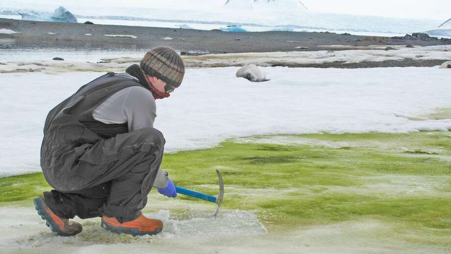 Matt Davey of the University of Cambridge samples snow algae at Lagoon Island, Antarctica. Green algae blooms spawned by melting snow and animal dung have been spreading on the Antarctic Peninsula, which saw record temperatures in February. Photo: Sarah Vincent