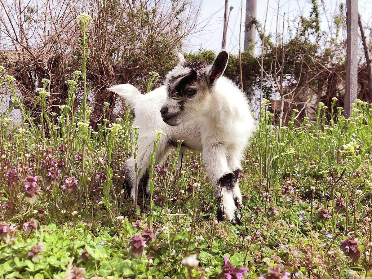 In this March 19, 2020, photo provided by Henry Scott, shows Ed the baby goat at Filbert Street Garden in Baltimore. Police in Baltimore say the baby goat stolen from a community garden is back home and unharmed. Police said officers were notified Tuesday, May 19, 2020 that the young Nigerian Dwarf goat named Ed had been a€œanonymously returneda€ to his owners (Courtesy of Henry Scott via AP)