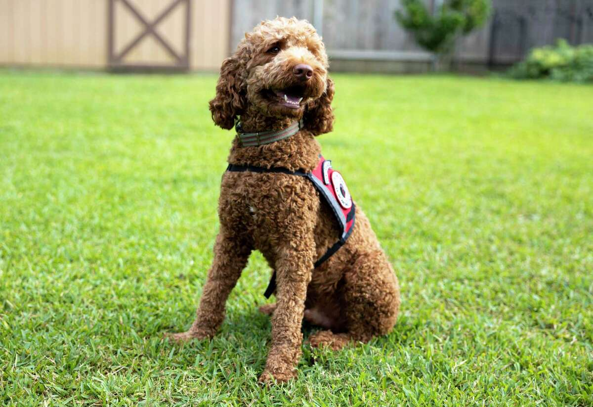Andy the Australian Labradoodle poses for a portrait in his new service dog vest in Conroe, Wednesday, May 13, 2020.