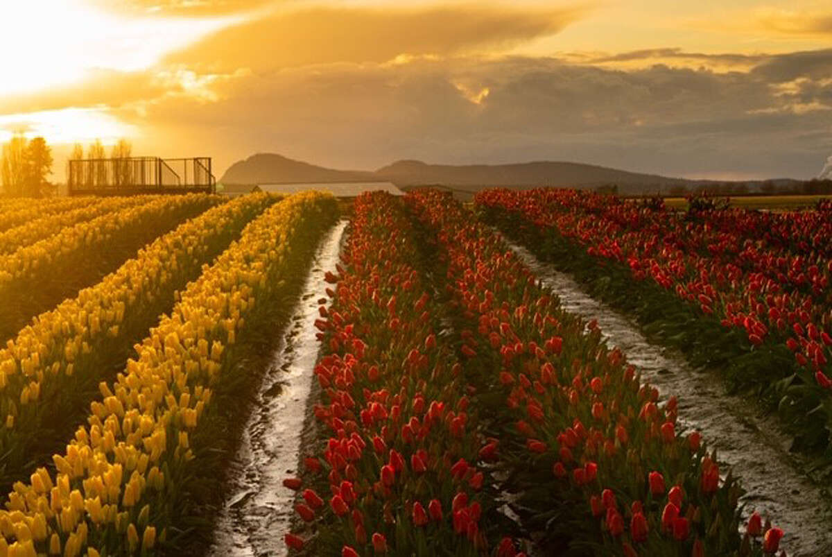 The sun sets over Tulip Town.