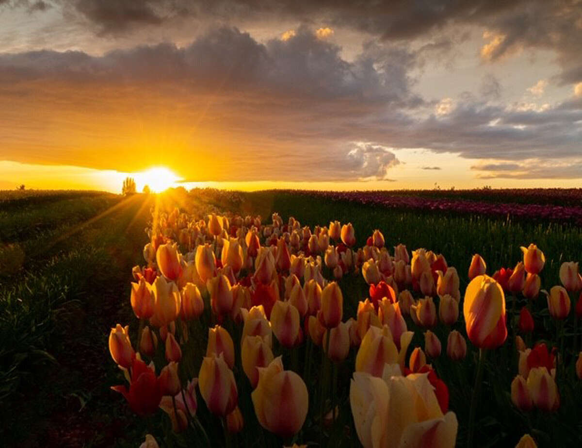 A sun sets over Tulip Town.