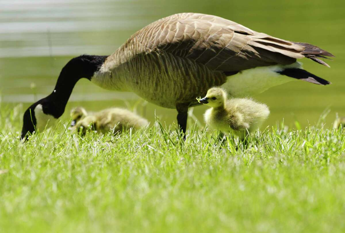 Times Union meteorologist Jason Gough says Monday - Memorial Day - will be a nice day to get out with the family. Geese and goslings feed on the grass at a pond on Thursday, May 21, 2020, in Colonie, N.Y. (Paul Buckowski/Times Union)