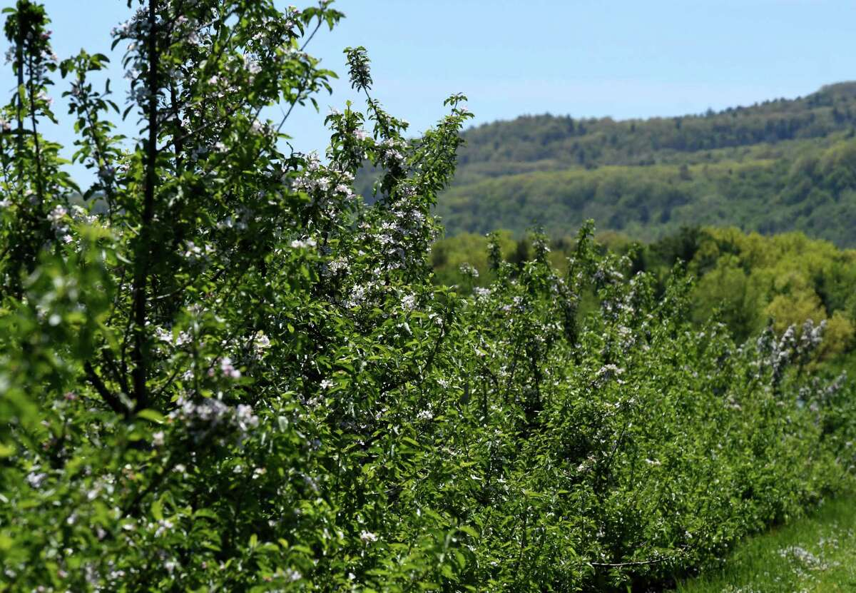 Apples blossoms decorate the trees at Indian Ladder Farms on Thursday, May, 21, 2020, in New Scotland, N.Y. (Will Waldron/Times Union)