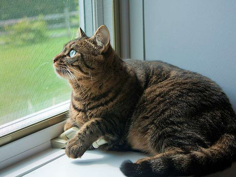 To avoid feline lower urinary tract disease, it is important that owners keep an eye on the bathroom habits of their furry friends to ensure that they are as happy and healthy as possible. Photo: Texas A&M University