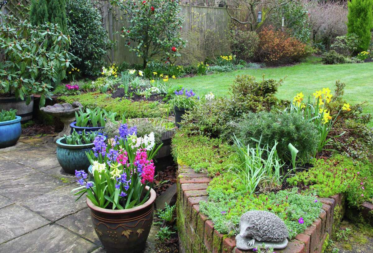 Domestic garden in early spring with daffodils in flower border and potio pots of hyacinth flowers, a camellia bush flowers against a fence in the background, Haslemere, Surrey, England, UK.