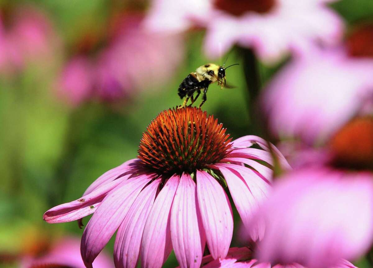 A bumble bee's legs collect pollen as it flies among coneflowers.
